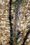 Euphorbia capuronii Thorns