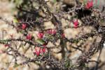 Euphorbia erythrocucullata Branches