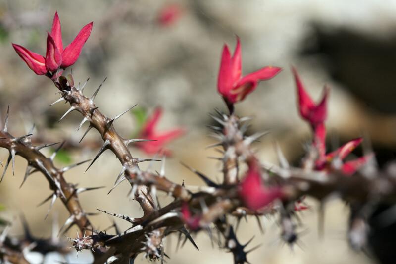Euphorbia erythrocucullata