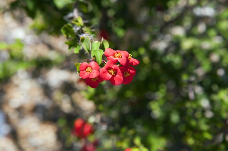 Euphorbia milii var. bevilanensis