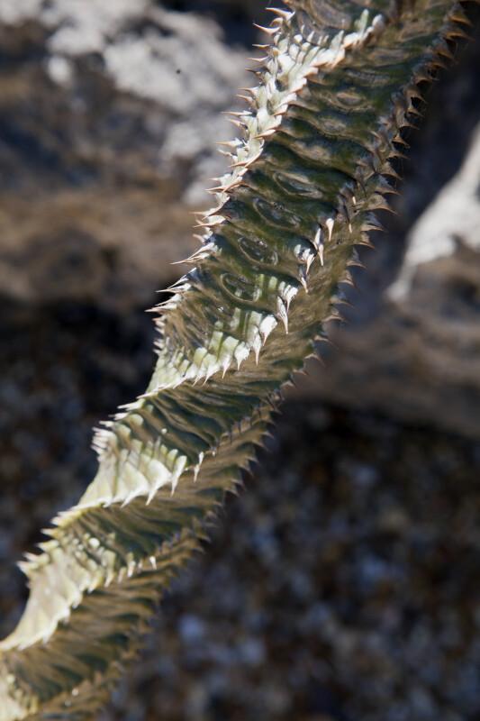 Euphorbia perrieri Trunk