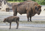 European Bison Adult and Calf
