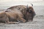European Bison Resting