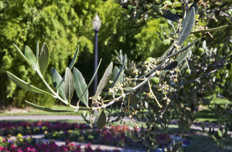 European Olive Tree Branch
