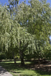 European White Birch Trees Growing at Capitol Park in Sacramento