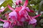 Evening Primrose Family Flowers