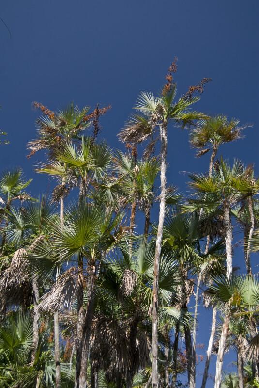 Everglades Palms at Nine Mile Pond