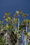 Everglades Palms at Nine Mile Pond