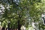 Evergreen Pear Tree at Capitol Park in Sacramento