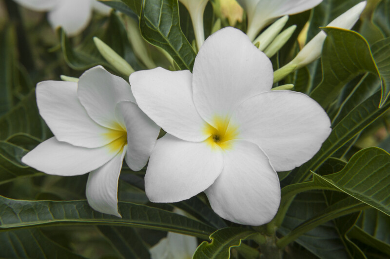 Evergreen Plumeria Flowers and Leaves