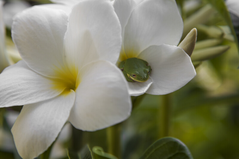 Evergreen Plumeria Flowers with Toad