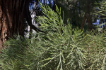 Evergreen Sierra Redwood Leaves
