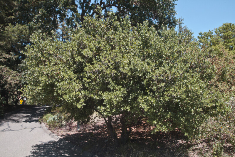 Evie's Silk-Tassel Bush near a Sidewalk at the UC Davis Arboretum