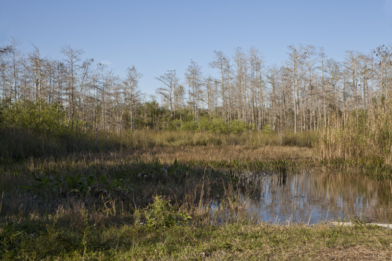Example of a Wetland at the Big Cypress National Preserve