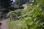 Extended Grape Vine Stem