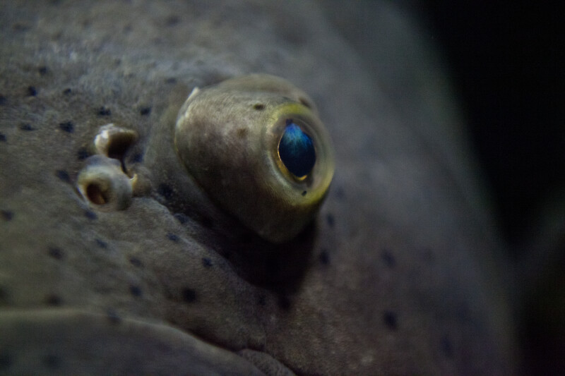 Eye of a Goliath Grouper Close-Up