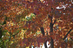 Fall Foliage in Memphis