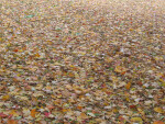 Fallen Autumn Leaves