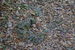 Fallen Leaves at Long Pine Key of Everglades National Park