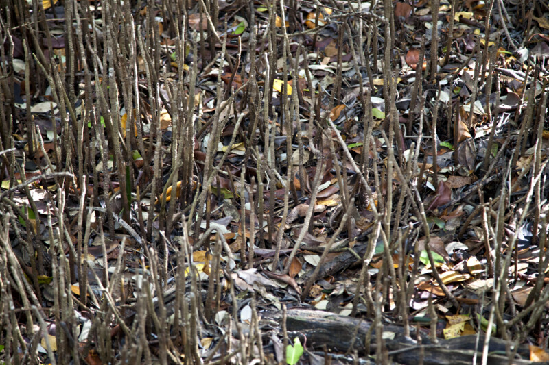 Fallen Leaves Dispersed Through Mangrove Pneumatophores