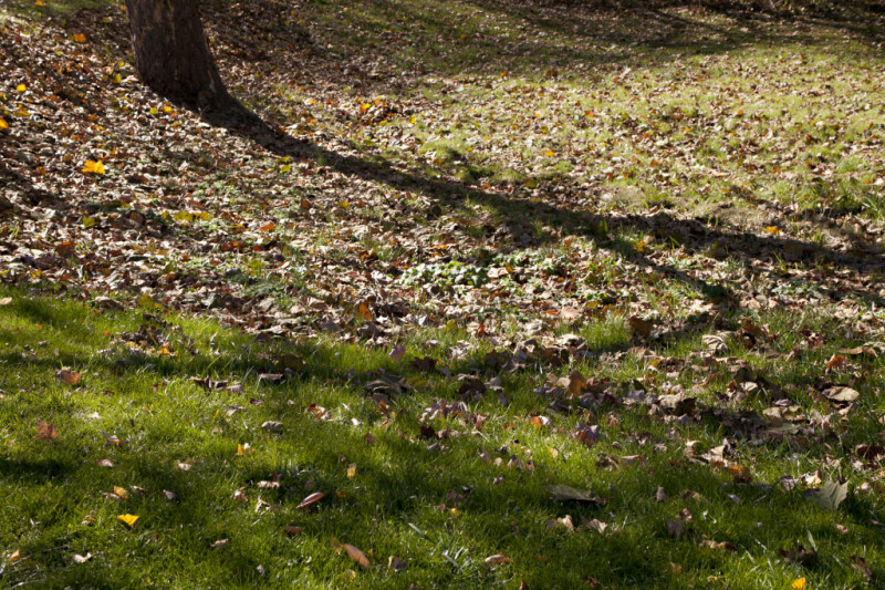 Fallen Leaves in Green Grass at Evergreen Park