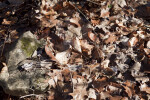 Fallen Leaves Near a Rock at Boyce Park