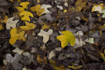 Fallen Leaves of a Chinese Tulip Tree