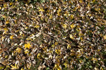 Fallen Leaves with Yellow and Brown Colors