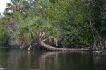 Fallen Palm Tree Along Halfway Creek in Everglades National Park