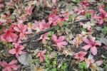 Fallen Torch Azalea Flowers