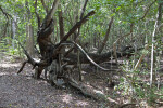 Fallen Tree Displaying its Roots