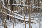 Fallen Trees and Snow