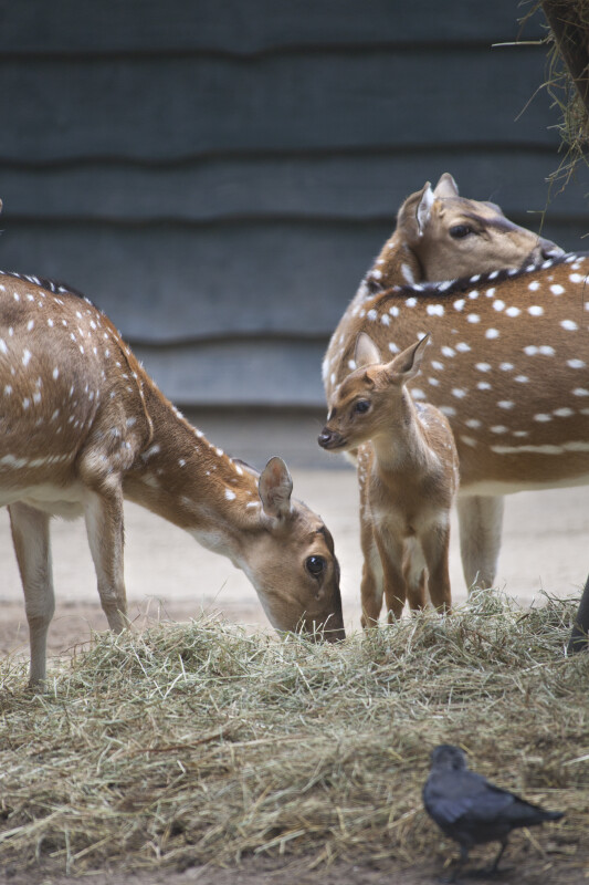 Fawn Axis Deer Standing near Adult at the Artis Royal Zoo