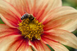 """Fee"" Hybrid Dahlia with Bee"
