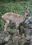 Female Alpine Ibex Standing on Pile of Rocks