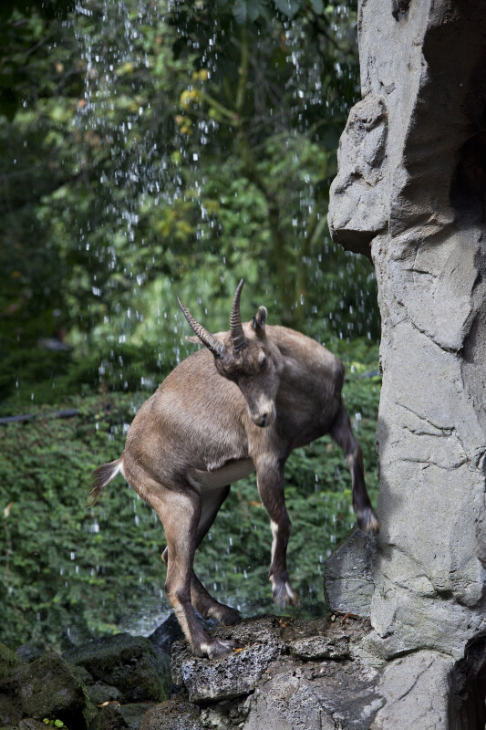 Female Alpine Ibex Stepping Down from Rock