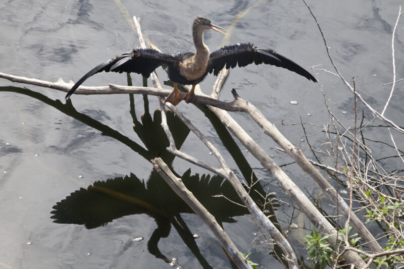 Female Anhinga Perched on a Branch