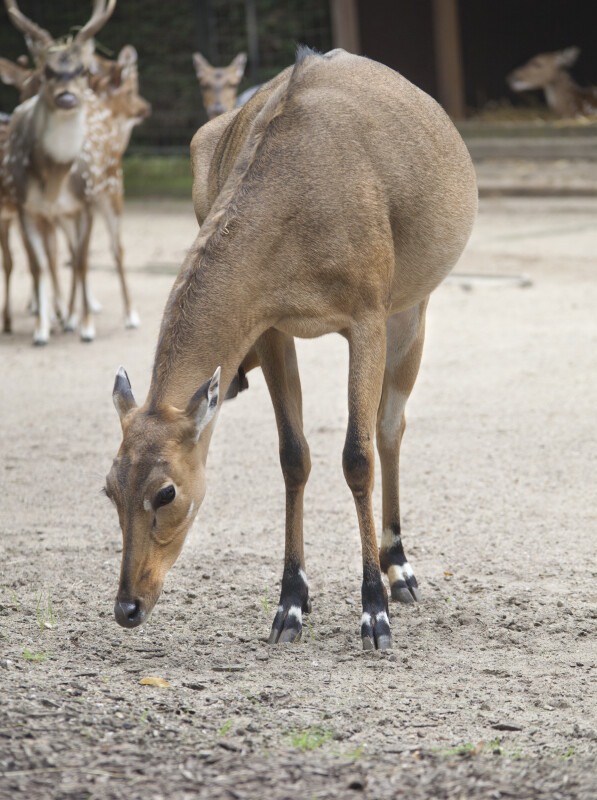 Female Antelope Bending Over at the Artis Royal Zoo