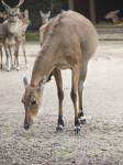 Female Antelope Bending Over at the Artis Royal Zoo