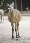 Female Antelope Standing in Dirt at the Artis Royal Zoo