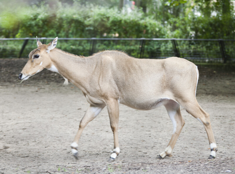 Female Antelope Walking at the Artis Royal Zoo