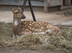 Female Axis Deer Resting in Hay at the Artis Royal Zoo