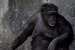 Female Chimpanzee
