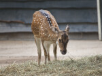 Female Chital Standing in Hay at the Artis Royal Zoo