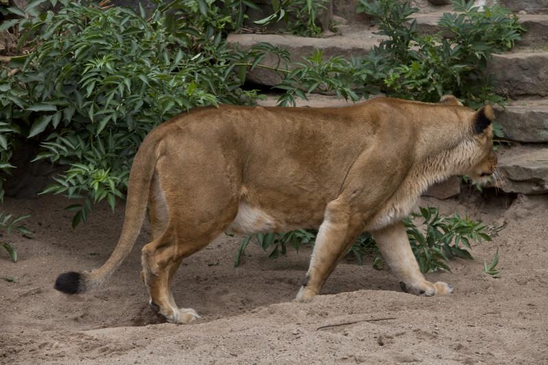 Female Lion Walking Through Enclosure at the Artis Royal Zoo