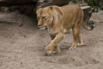 Female Lion Walking Through Sandy Enclosure