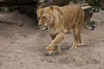 Female Lion Walking Through Sandy Enclosure