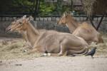 Female Nilgais Resting in Hay at the Artis Royal Zoo