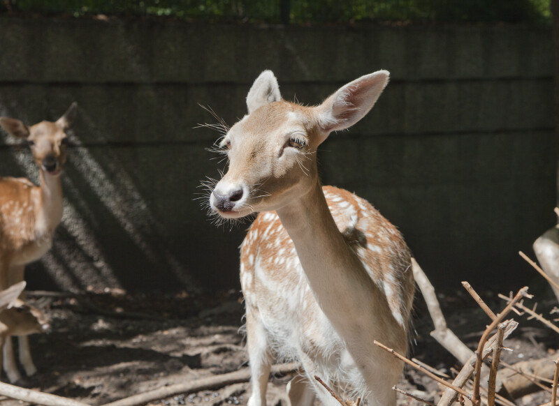 Female Persian Fallow Deer in Sunlight