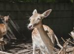 Female Persian Fallow Deer in Sunlight